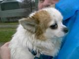 Dringend: Bella & Sammy, kleines Hundepaar, 7 + 10 Jahre Bella10