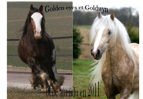 Ecurie de Tine:les faire parts de naissances 2011 Golden10