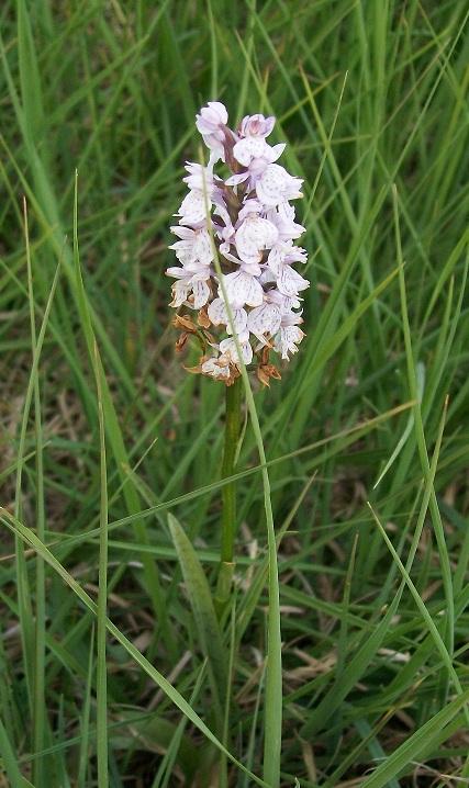 Les orchidées sauvages de nos régions Dactyl10