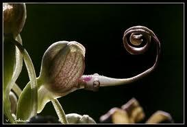 Les orchidées sauvages de nos régions Orchis10