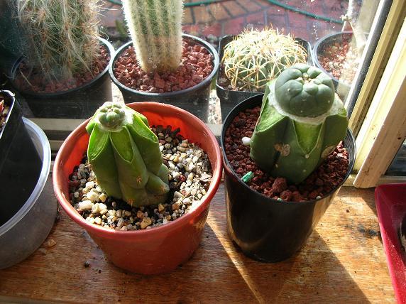 GLue method for small seedlings Grafte10