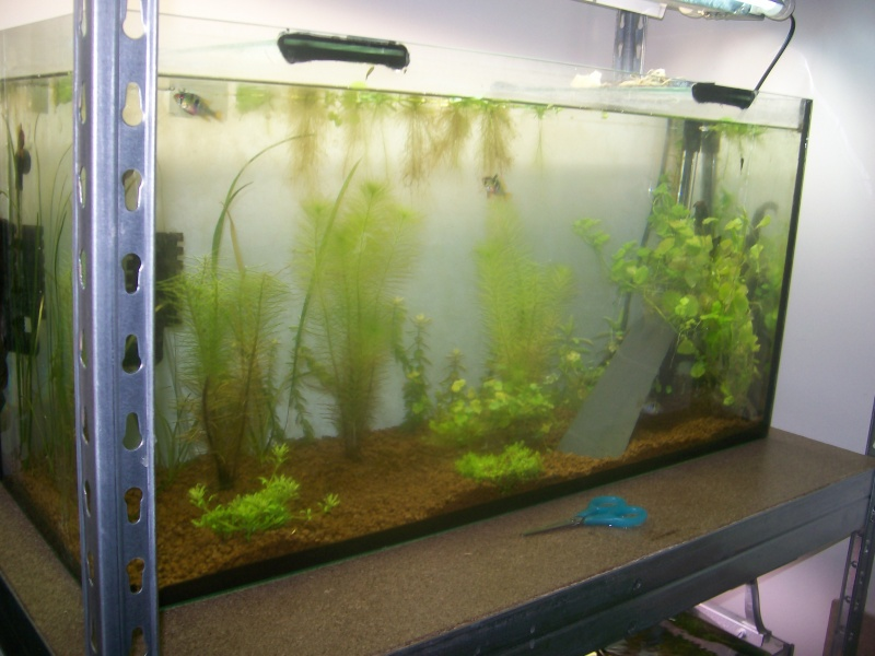 aquarium 96 litres - couple ramirezi Bac_ra11