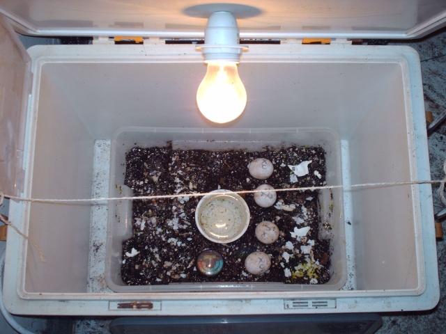 Installation incubateur oeuf graeca dans une véranda ?? Image387