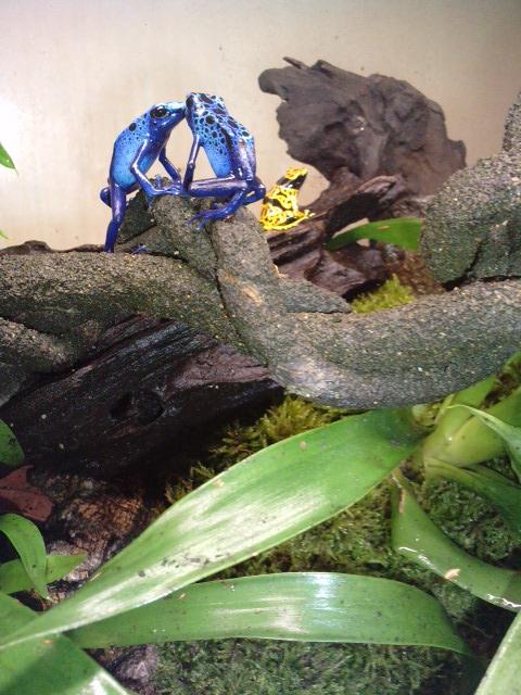 les especes à maintenir en terrarium tropical P0710011