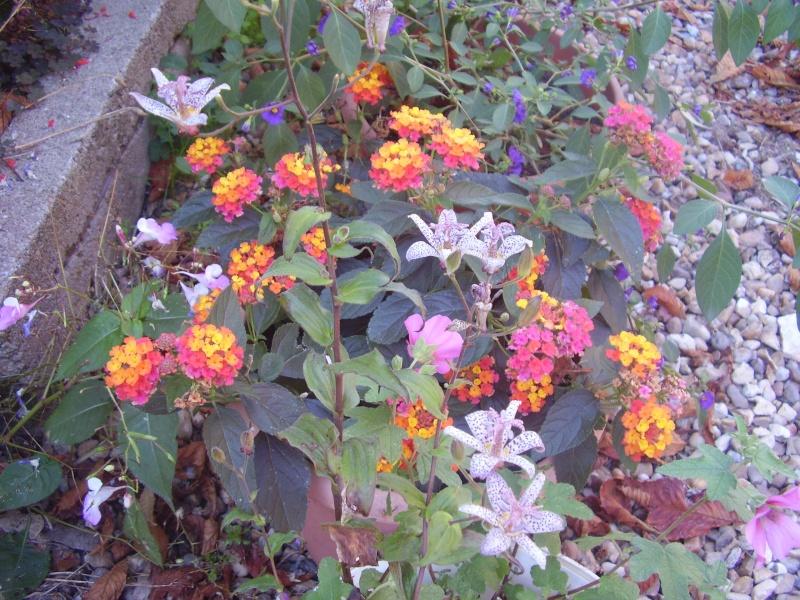 Association de plantes dans vos massifs  2010_070