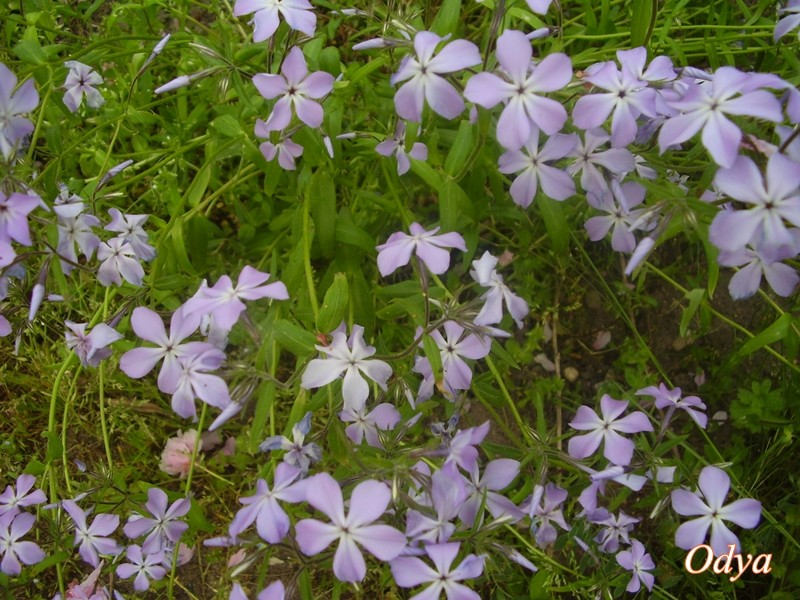 phlox divaricata 2011_a36