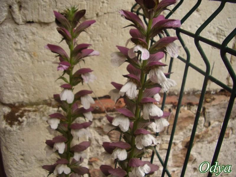 fleurs de feuille d-acanthe Juin_110