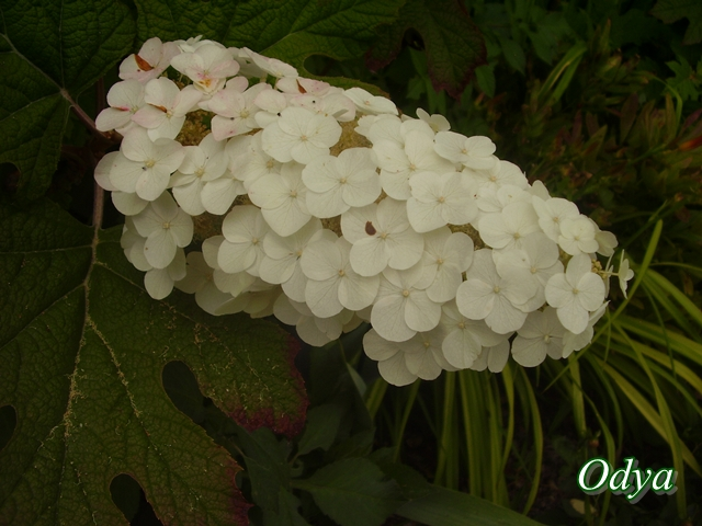 Hydrangea   Hortensia des jardins - Page 2 Juin_263