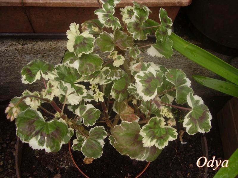 Plantes à feuillage panaché  Mai_2085