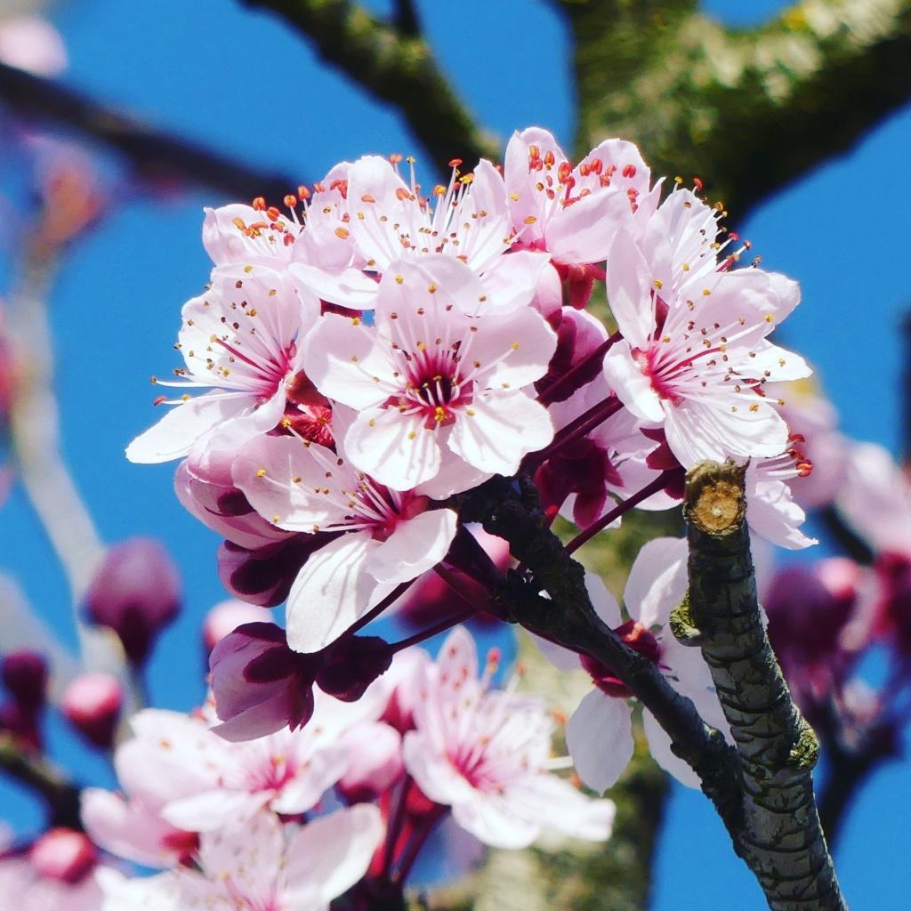 Cerisier en fleurs Img_2010