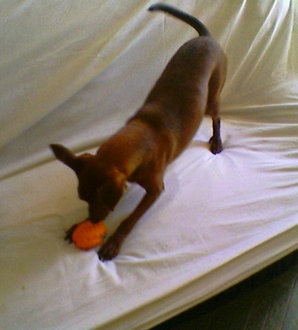 Flam, pinscher nain 2 ans, asso Cani nursing, Dunkerque ADOPTE - Page 4 Flam-110