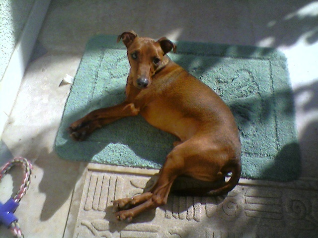 Flam, pinscher nain 2 ans, asso Cani nursing, Dunkerque ADOPTE - Page 4 Flam-510
