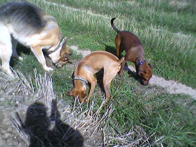 Flam, pinscher nain 2 ans, asso Cani nursing, Dunkerque ADOPTE - Page 4 Flam-610