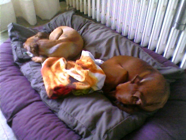 Flam, pinscher nain 2 ans, asso Cani nursing, Dunkerque ADOPTE - Page 4 Flam-710