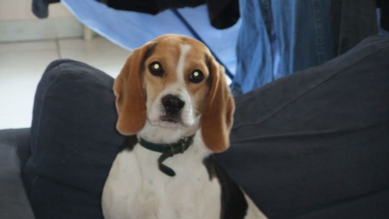ETOILE, beagle femelle, 1 an 1/2 (07) Dscf3810