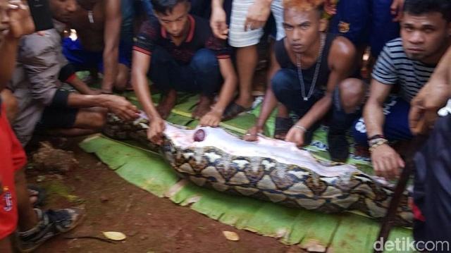 Dorpelingen vinden verdwenen Indonesische vrouw in opgezwollen python 112