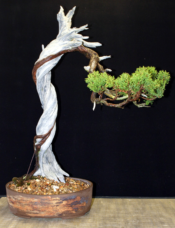 TALL CALIFORNIA JUNIPER Z-twis10