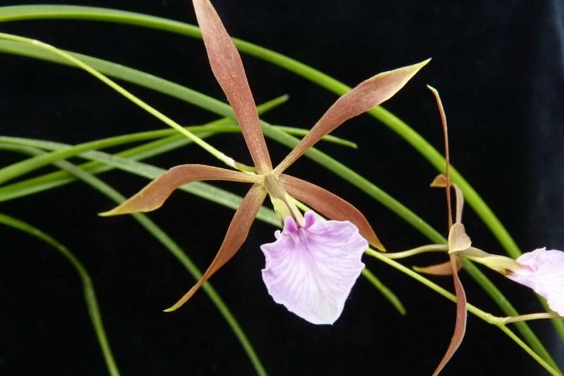 Orchideen - Seite 3 P1030510