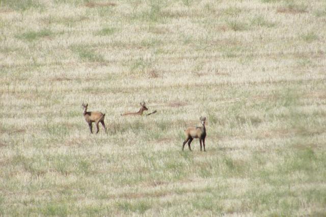Mes sorties, Pirsch Affût  -  Saison de chasse 2010/2011 Dscf0910