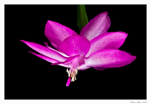 schlumbergera truncata _mg_5311