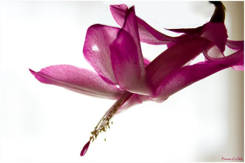 schlumbergera truncata Cactus10