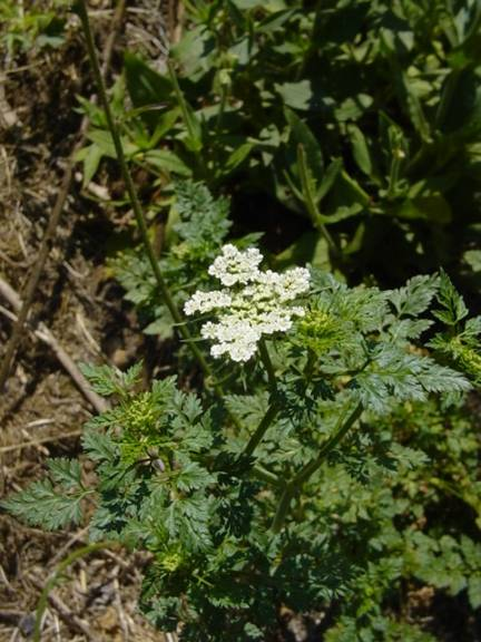 Petite ciguë - Aethusa cynapium Aethus10
