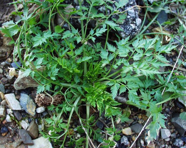 Petite ciguë - Aethusa cynapium Aethus12
