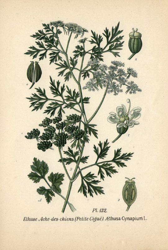 Petite ciguë - Aethusa cynapium Aethus13