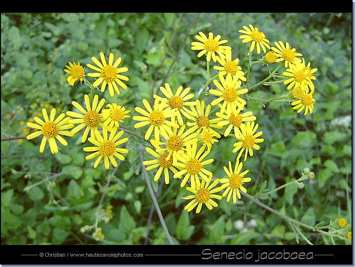 Sénéçon jacobée - senecio jacobea - Seneci11