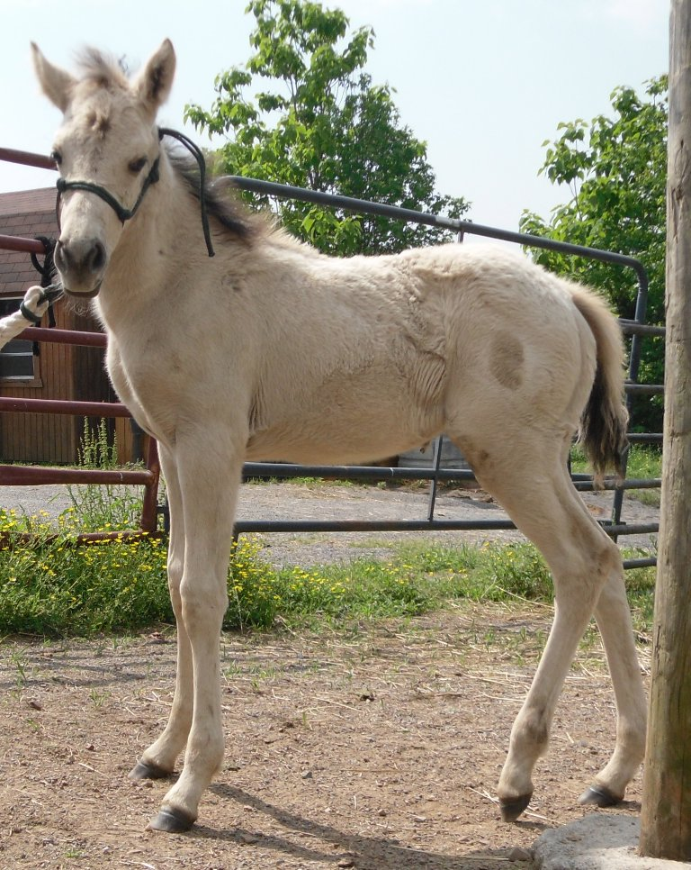 AQHA Pali mare. bred back, and Buckskin filly Candyh12