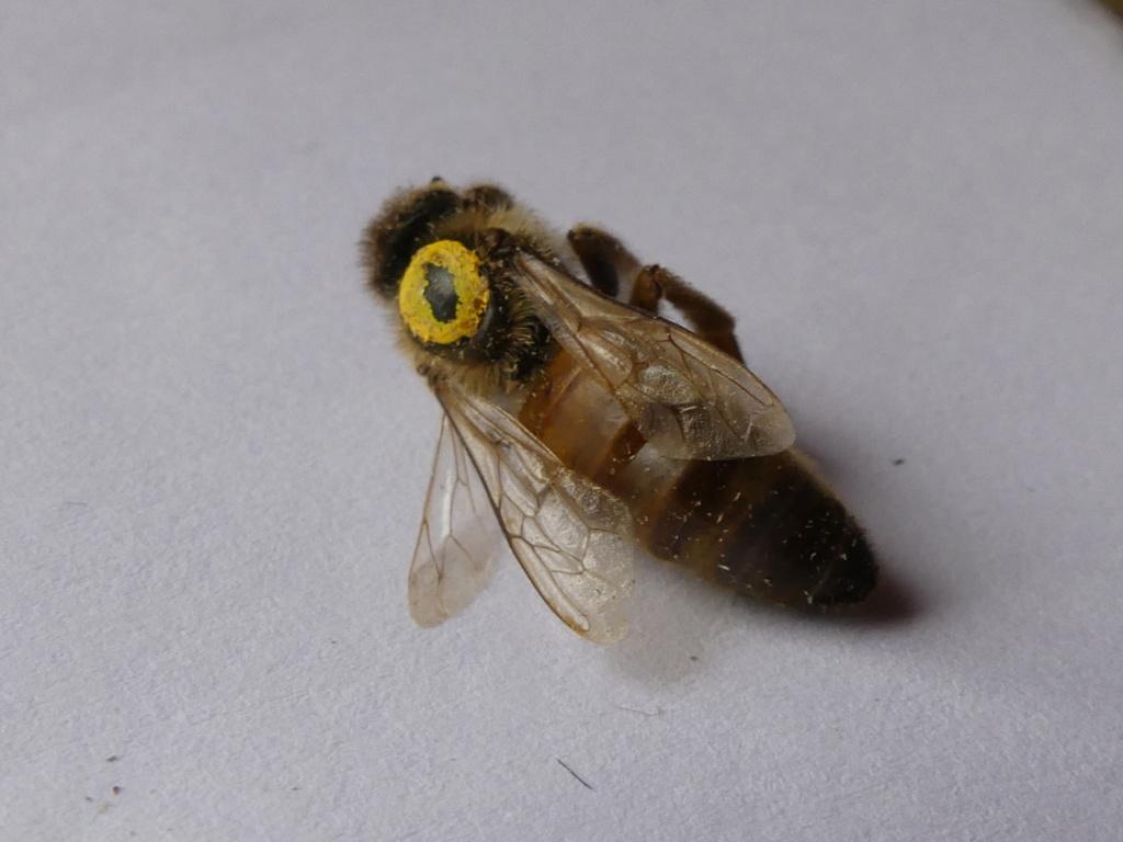 Nous constatons ce jour la mort de toutes les abeilles de la ruche... samedi 15 décembre 2018 P1230010