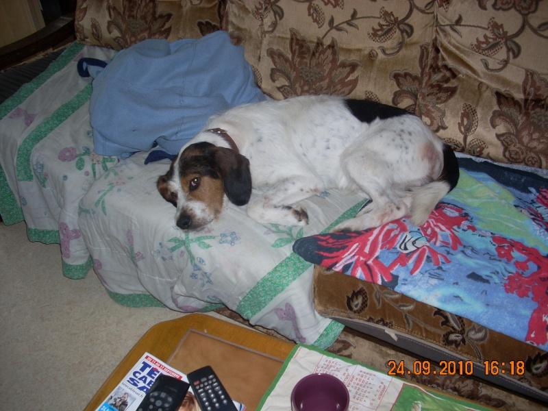 ADHOC, croisé beagle/griffon mâle, 5 ans 1/2 (56) - Page 2 Sylvie22