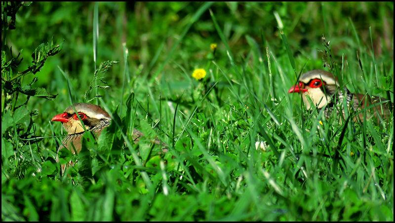 Forum oiseaux de la nature et sauvages: Nos p'tits copains à plume - Portail X097110