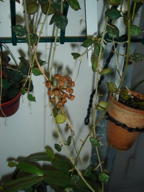 Floraison imminente de Hoya curtisii. Suite du développement. Dsc02410
