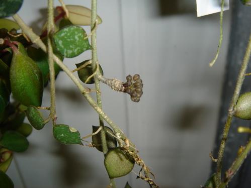 Floraison imminente de Hoya curtisii. Suite du développement. Hoya_c10