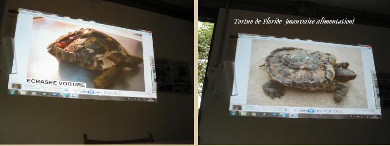 Pour les amoureux des tortues Hermann : stage au village des tortues de Gonfaron (Sud de la France) Fer_s111