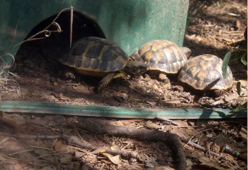Pour les amoureux des tortues Hermann : stage au village des tortues de Gonfaron (Sud de la France) Fer_st49
