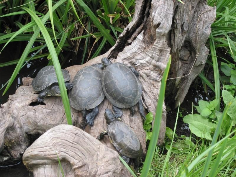 Pour les amoureux des tortues Hermann : stage au village des tortues de Gonfaron (Sud de la France) Fer_st55