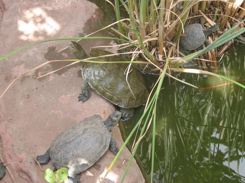 Pour les amoureux des tortues Hermann : stage au village des tortues de Gonfaron (Sud de la France) Fer_st58