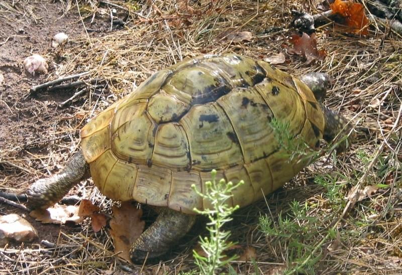 Pour les amoureux des tortues Hermann : stage au village des tortues de Gonfaron (Sud de la France) Fer_st62