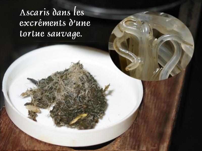 Pour les amoureux des tortues Hermann : stage au village des tortues de Gonfaron (Sud de la France) Fer_st98