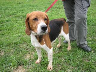 ROXANNE, beagle femelle, 10 ans (11) Roxann10
