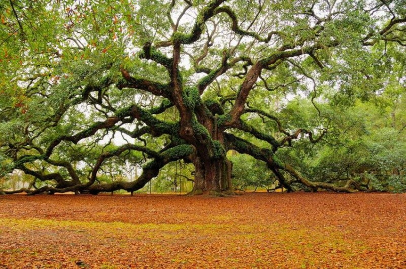 The Old Oak Style – A possibility for Bonsai?? Angel-10
