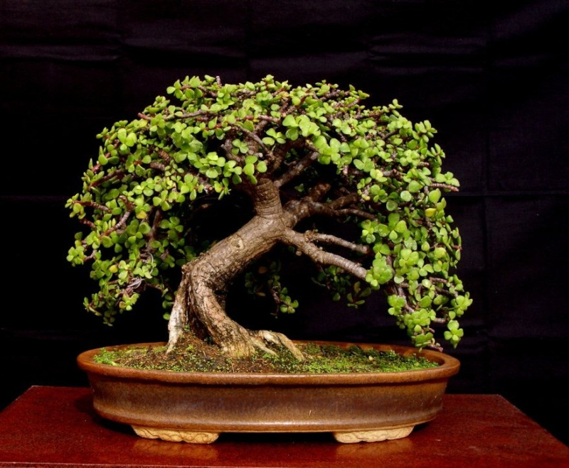 The Old Oak Style – A possibility for Bonsai?? Jade11