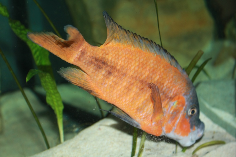 Petrochromis Sp Red Img_1111