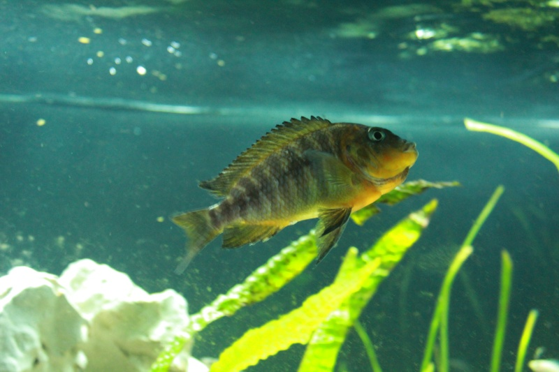 Petrochromis Sp Red Img_1116