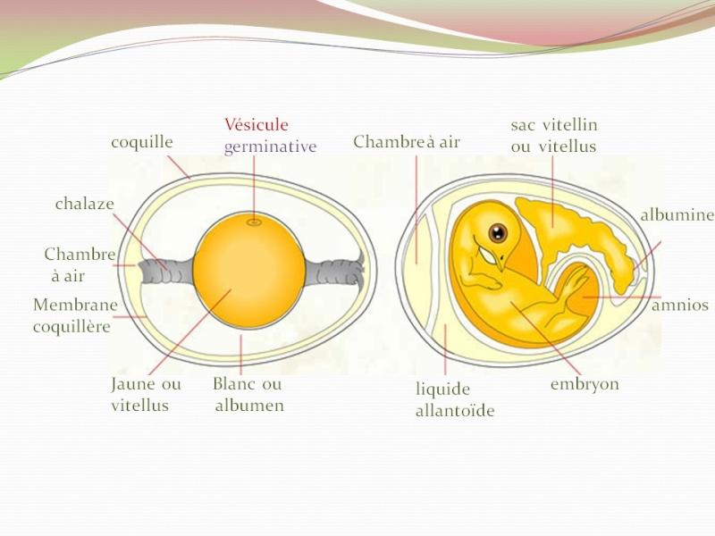 Anatomie intérieure de l'oeuf Diapos10