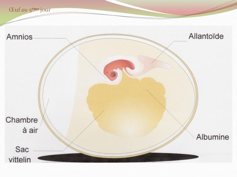 Anatomie intérieure de l'oeuf Prasen10