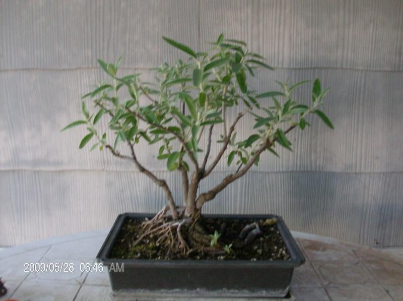 russian olive bonsai? Pics_010