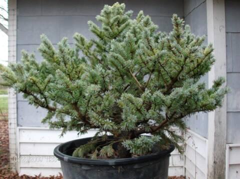 Colorado Blue Spruce Globosa Project